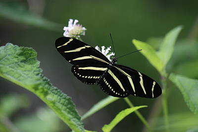 Photograph - Zebra Longwing by Mandy Shupp