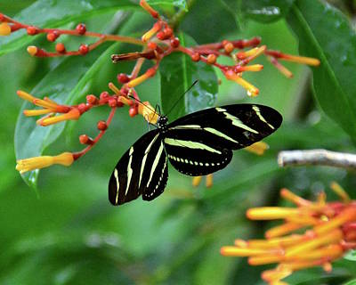 Photograph - Zebra Longwing On Firebush by Carol Bradley