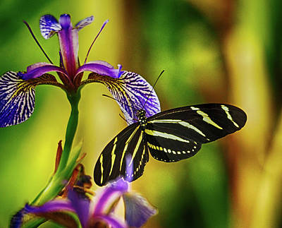 Photograph - Zebra Longwing On Iris by C H Apperson