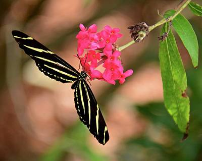 Photograph - Zebra Longwing On Pink Flower by Carol Bradley