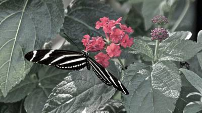 Photograph - Zebra Longwing On Pink Lantana by Carol Bradley