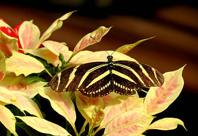 Photograph - Zebra Longwing On Poinsettia by MTBobbins Photography