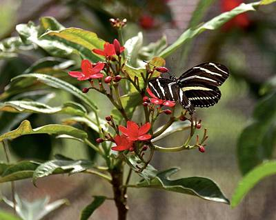 Photograph - Zebra Longwing  On Red Flower      by Carol Bradley