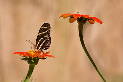 Floral Photograph - Zebra Longwing by Zina Stromberg