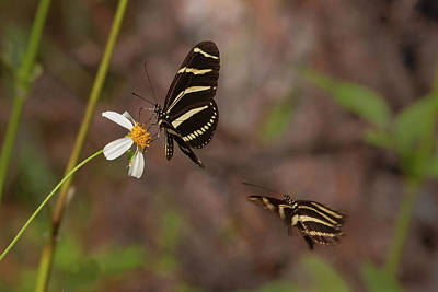 Photograph - Zebra Longwings by Paul Rebmann