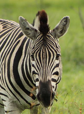 Zebra Looking At You Art Print by Denise Dean