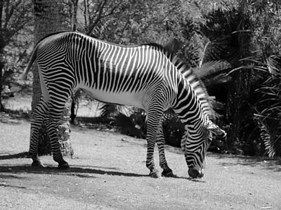Phoenix Zoo Photograph - Zebra by Lorraine Baum