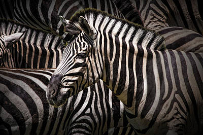 Photograph - Zebra Lost Among The Herd by Randall Nyhof