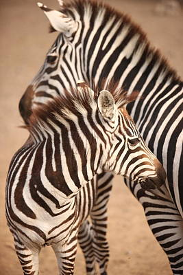 Malibu Painting - Zebra Mom And Baby by Lisa Semler