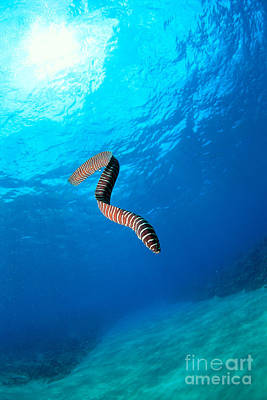 Photograph - Zebra Moral Eel by Ed Robinson - Printscapes