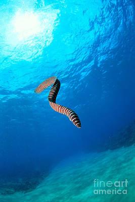 Undersea Photograph - Zebra Moral Eel by Ed Robinson - Printscapes