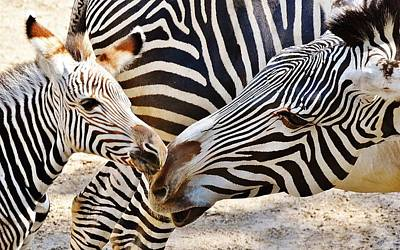Photograph - Zebra Mother And Calf by Werner Lehmann