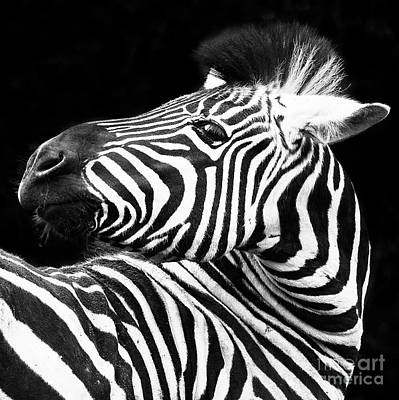 Photograph - Zebra - Oblio Jr. Square by Sonya Lang