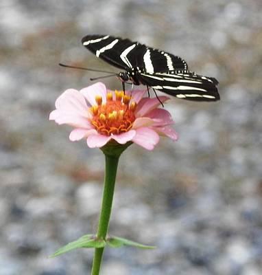 Photograph - Zebra On A Zinnia by Belinda Lee