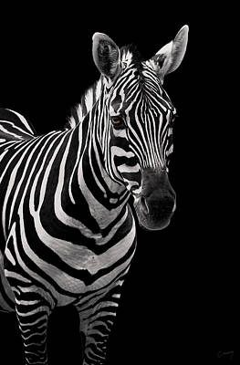 Christina Conway Royalty-Free and Rights-Managed Images - Zebra on Black by Christina Conway