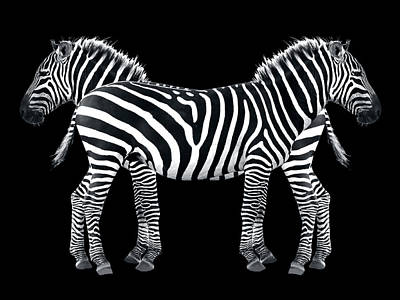 Photograph - Zebra Pair On Black by Gill Billington