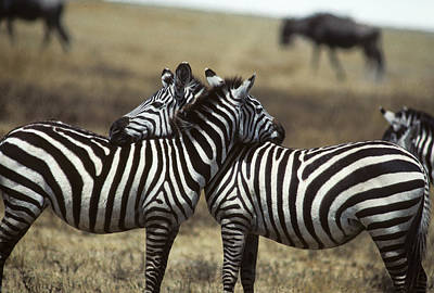 Photograph - Zebra Pals In Africa by Carl Purcell