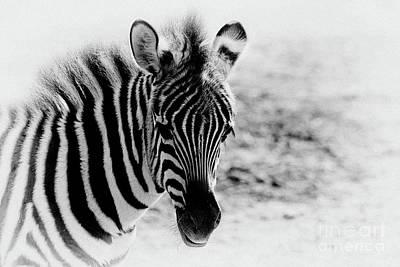 Photograph - Zebra Portrait I by Teresa Zieba