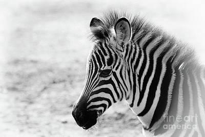 Photograph - Zebra Portrait II by Teresa Zieba