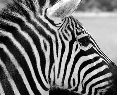 Photograph - Zebra Portrait In Black And White by Sheila Brown