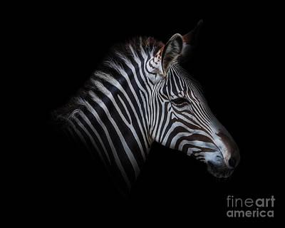 Zebra Portrait In Black Original