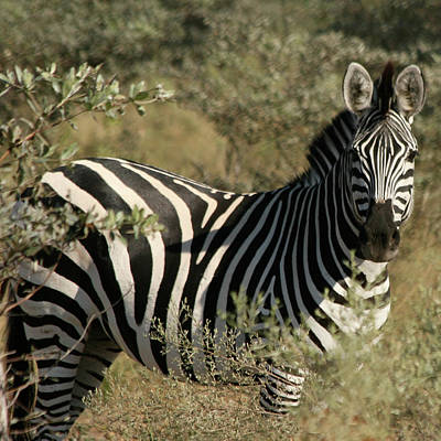 Art Print featuring the photograph Zebra Portrait by Karen Zuk Rosenblatt