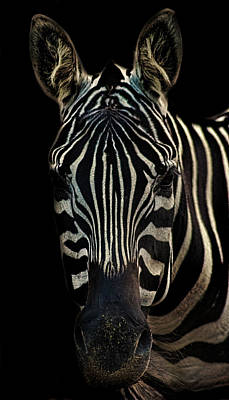 Zebra Portrait Print by Martin Newman