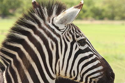 Photograph - Zebra Portrait by Sheila Brown