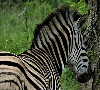 Photograph - Zebra Profile by Vijay Sharon Govender