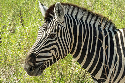 Photograph - Zebra by Randy Green