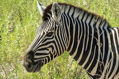 Photograph - Zebra by Randy Green