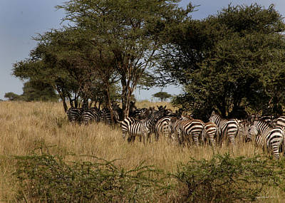 Photograph - Zebra Seeking Shade by Joseph G Holland