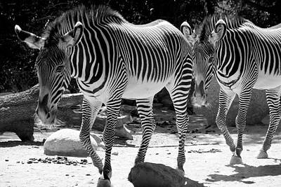 Photograph - Zebra Stripes by Aidan Moran
