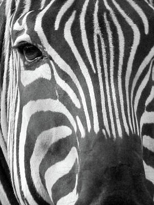 Photograph - Zebra - Stripes - Bw by Pamela Critchlow