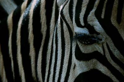 Photograph - Zebra Stripes by Eric Tressler