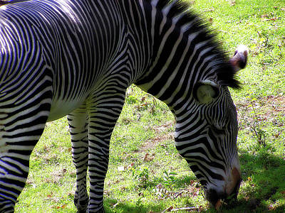 Photograph - Zebra Stripes by Scott Hovind