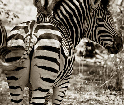 Photograph - zebra stripes South Africa by Joseph G Holland
