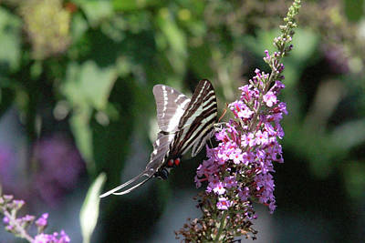 Photograph - Zebra Swallowtail 1 by Pete Federico