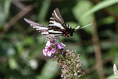 Photograph - Zebra Swallowtail 2 by Pete Federico