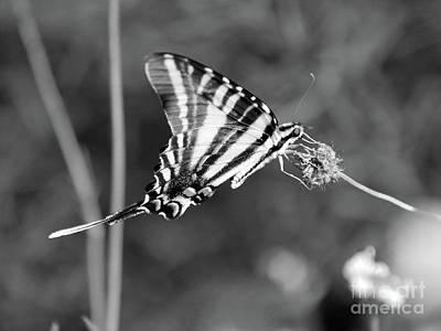 Photograph - Zebra Swallowtail Butterfly Black And White by Karen Adams