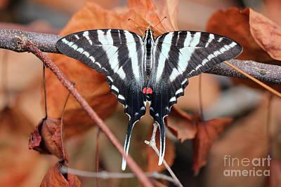 Photograph - Zebra Swallowtail Butterfly Dorsal View by Karen Adams