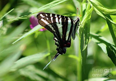 Photograph - Zebra Swallowtail Butterfly In Green by Karen Adams