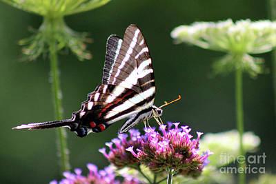 Photograph - Zebra Swallowtail Butterfly In July by Karen Adams