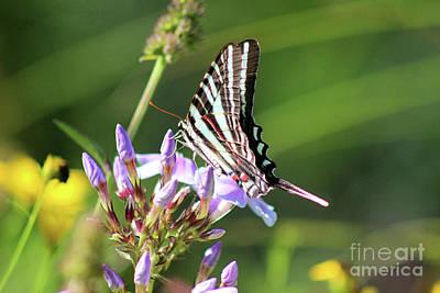 Photograph - Zebra Swallowtail Butterfly On Phlox by Karen Adams