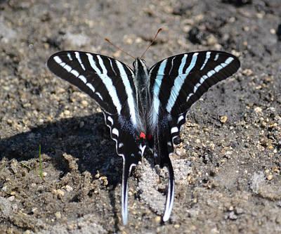 Photograph - Zebra Swallowtail Butterfly by rd Erickson