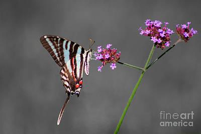 Photograph - Zebra Swallowtail Butterfly With Verbena by Karen Adams