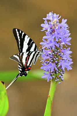 Photograph - Zebra Swallowtail by Don Mercer