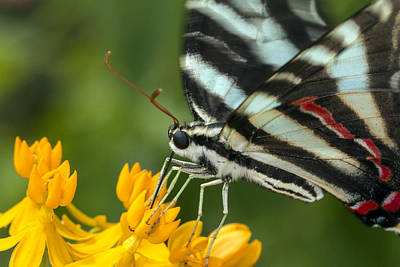 Zebra Swallowtail Drinking On The Fly Art Print