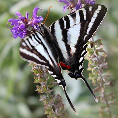 Photograph - Zebra Swallowtail by Joseph Skompski