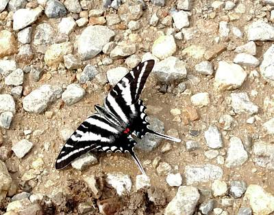 Photograph - Zebra Swallowtail by Mark McReynolds